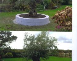 Olive tree surround grey hammered granite